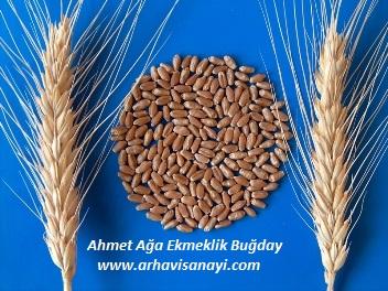 Ahmet-Ağa-Ekmeklik Buğday Çeşidi