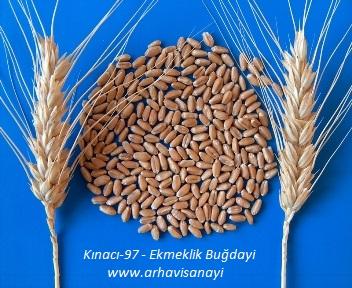 Kınacı-97 - Ekmeklik Buğday Çeşidi
