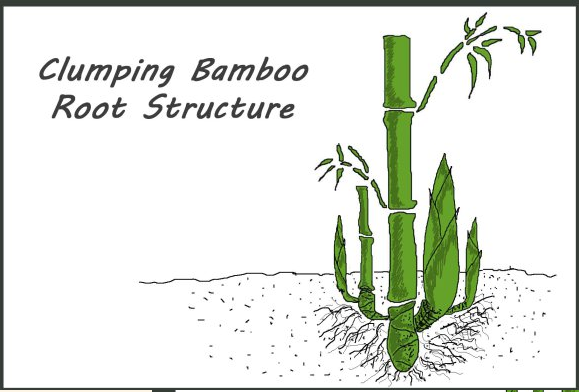 büyüyen banbu 2