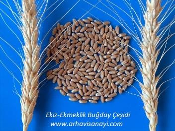 Ekiz-Ekmeklik Buğday Çeşidi